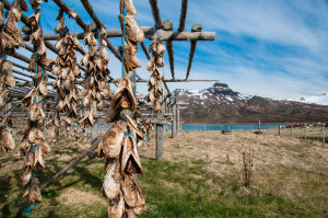 Dried fish in Iceland